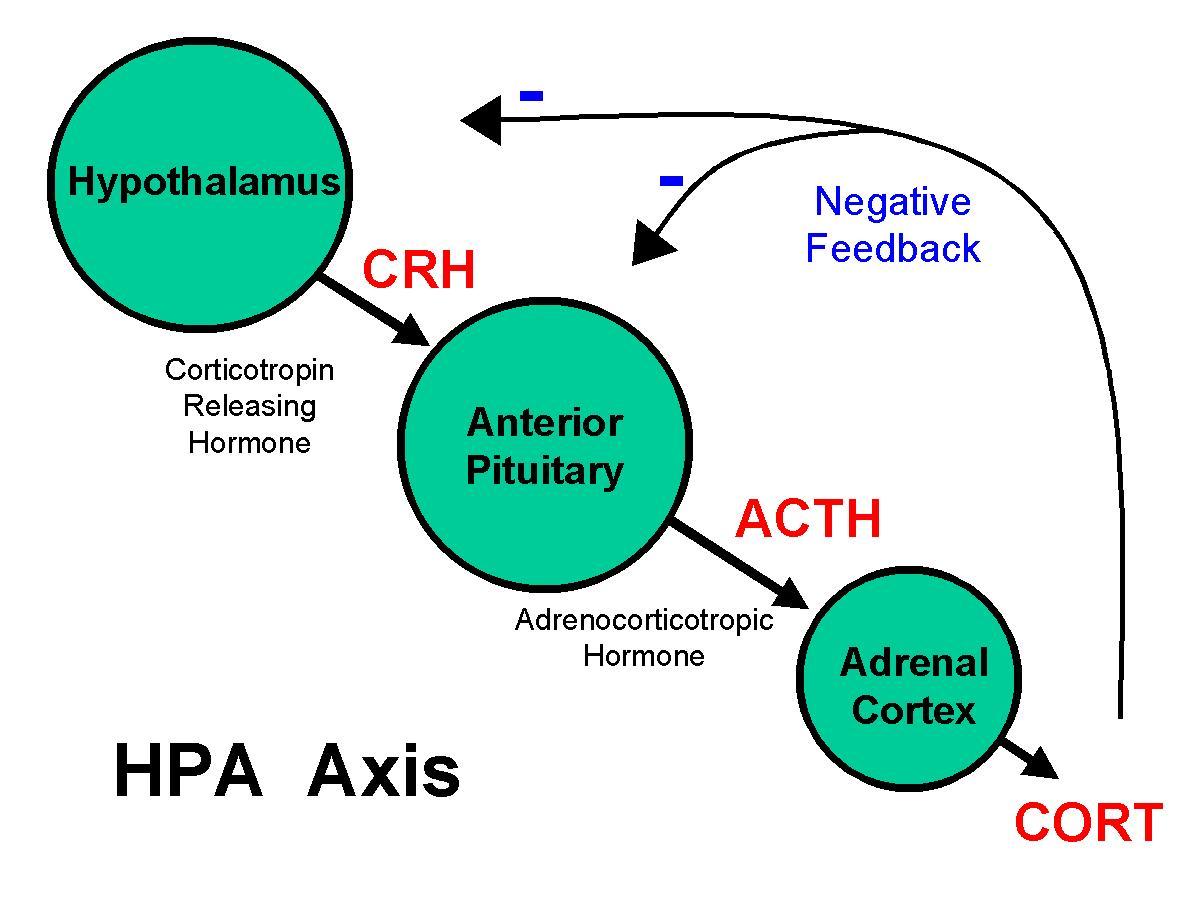phosphatidylserine, hypothalamus