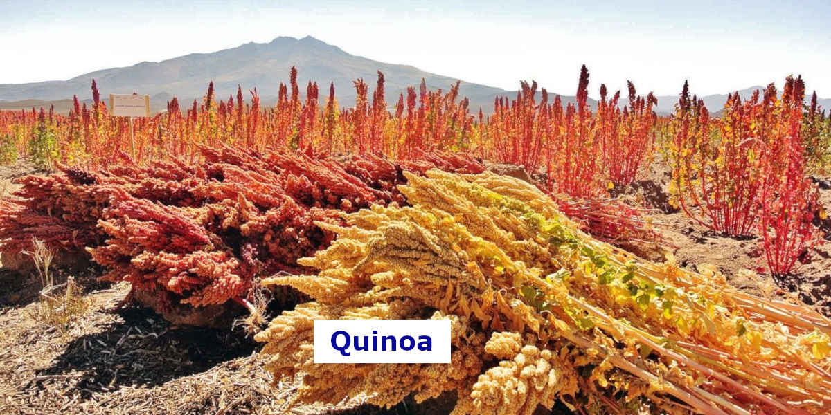 This quinoa field has oodles of dietary magnesium