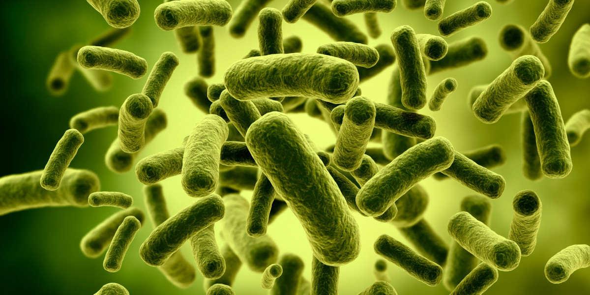 Lactobacillus bacteria