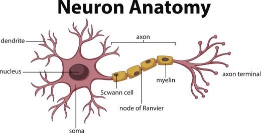 neuron anatomy