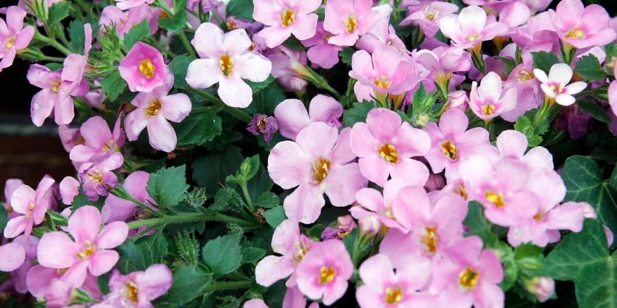 bacopa monnieri in full bloom