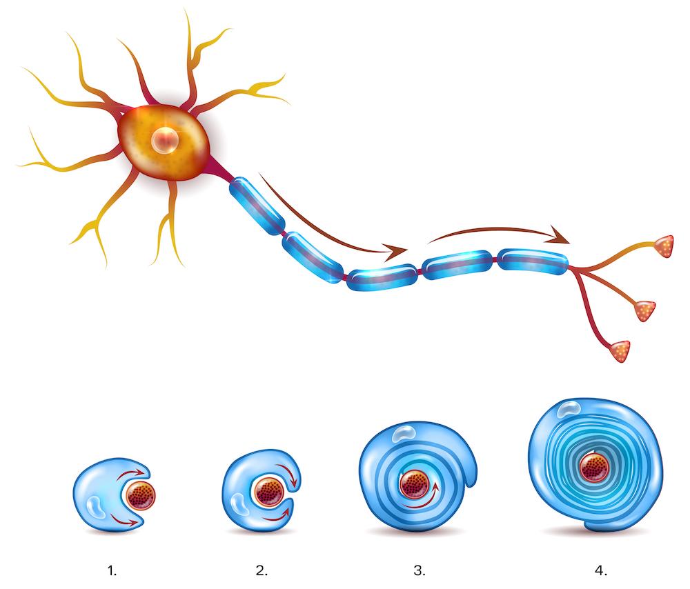 myelin sheaths, b1